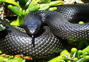 Large black mole snake in defensive pose