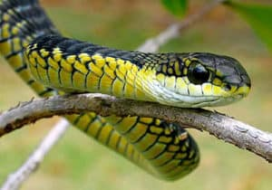 Boomslang in Cape Town climbing a tree