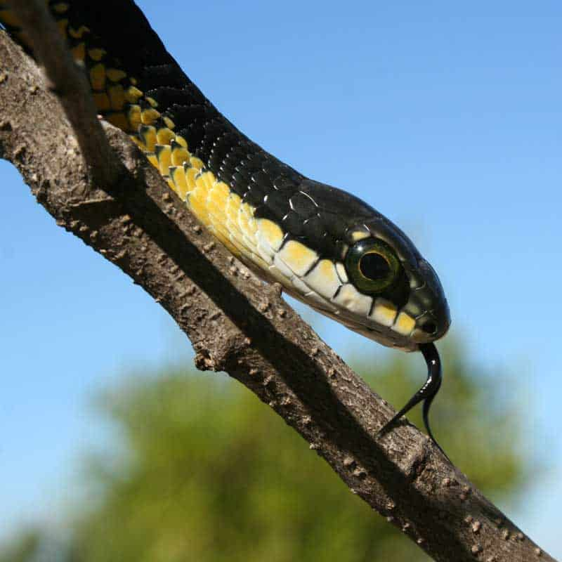 Closeup of a male boomslang on a tree branch