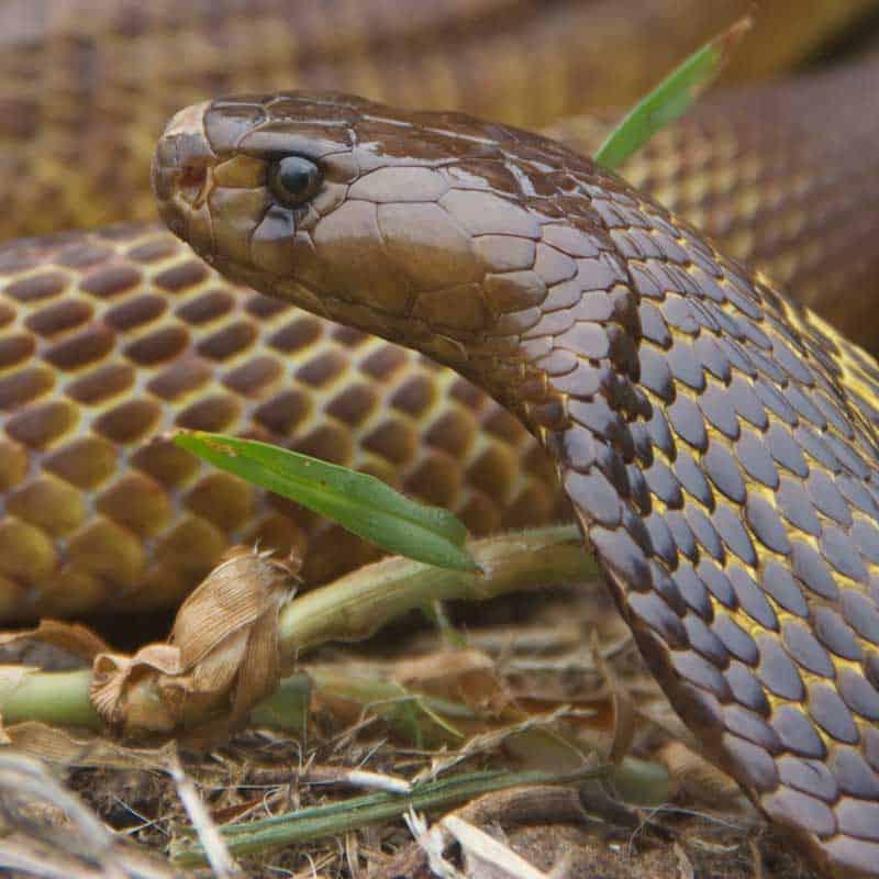 Closeup of a Cape cobra spreading a small hood