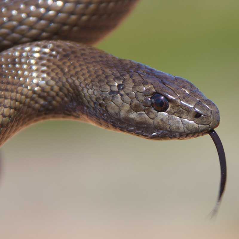 Mole snake closeup with tongue out