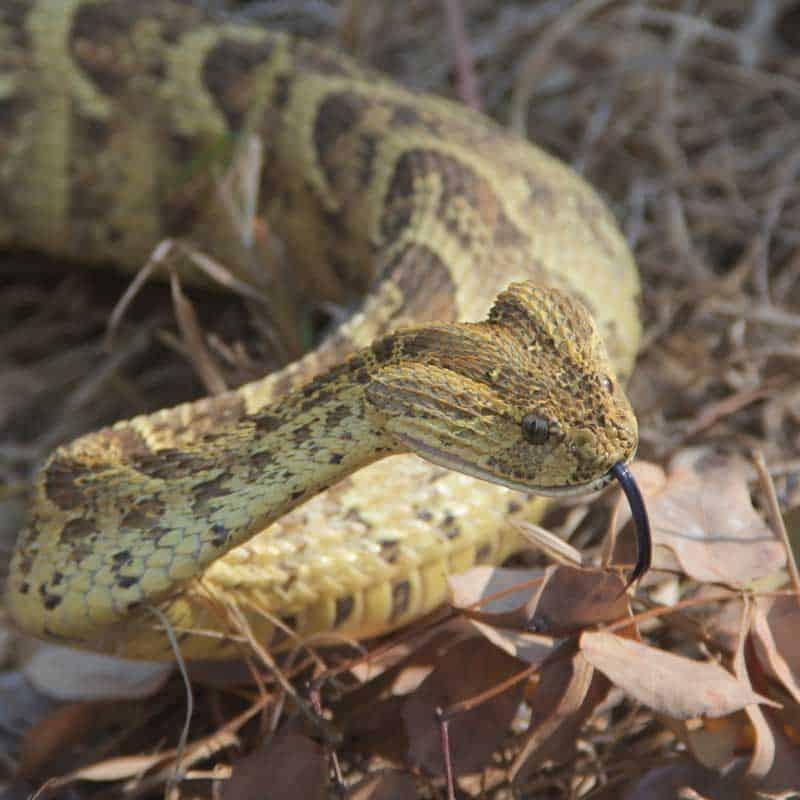 Puff adder closeup in defensive pose with tongue out