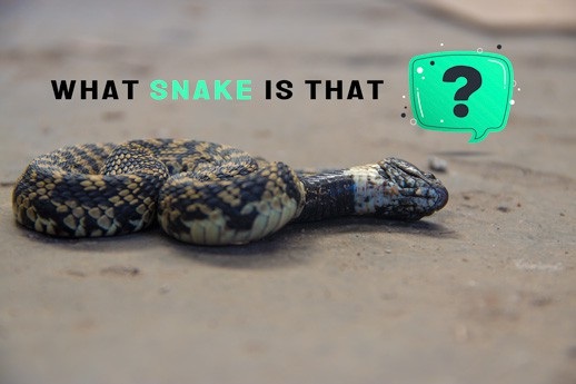 Snake playing dead with a question mark over its head.