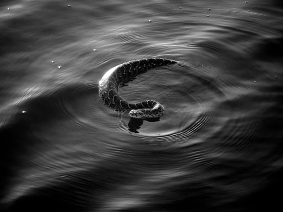 Black and white image of a snake swimming
