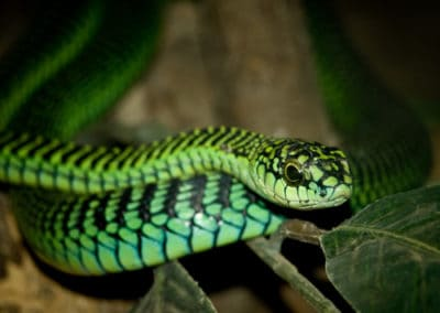 Green boomslang in a tree