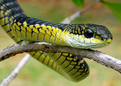 Black and yellow boomslang in a tree