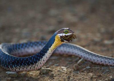 Young boomslang snake eating