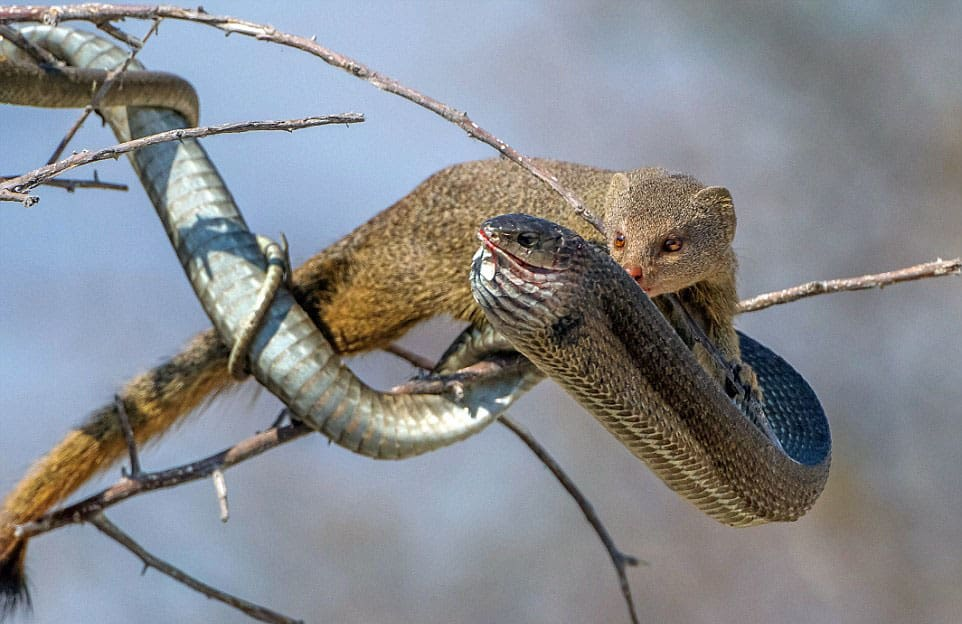 Mongoose attacks boomslang in a tree