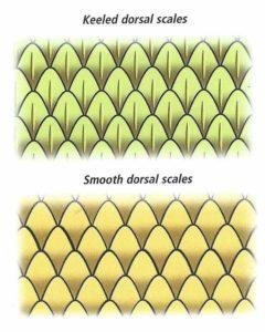 Snake scales, keeled on top smoothe below